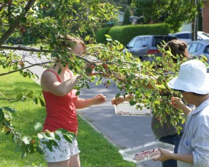 Serviceberry Harvest – Old Ottawa East